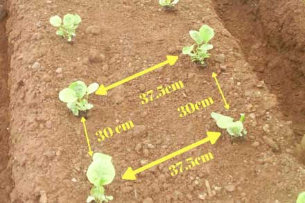 gerbera plant distance