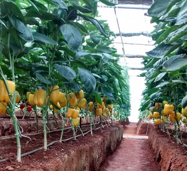 Bed preparation for capsicum cultivation