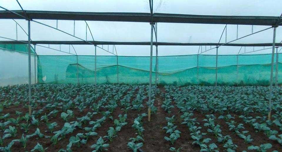 Broccoli Farming in greenhouse