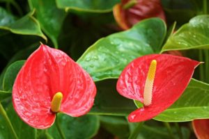 Anthurium Cultivation