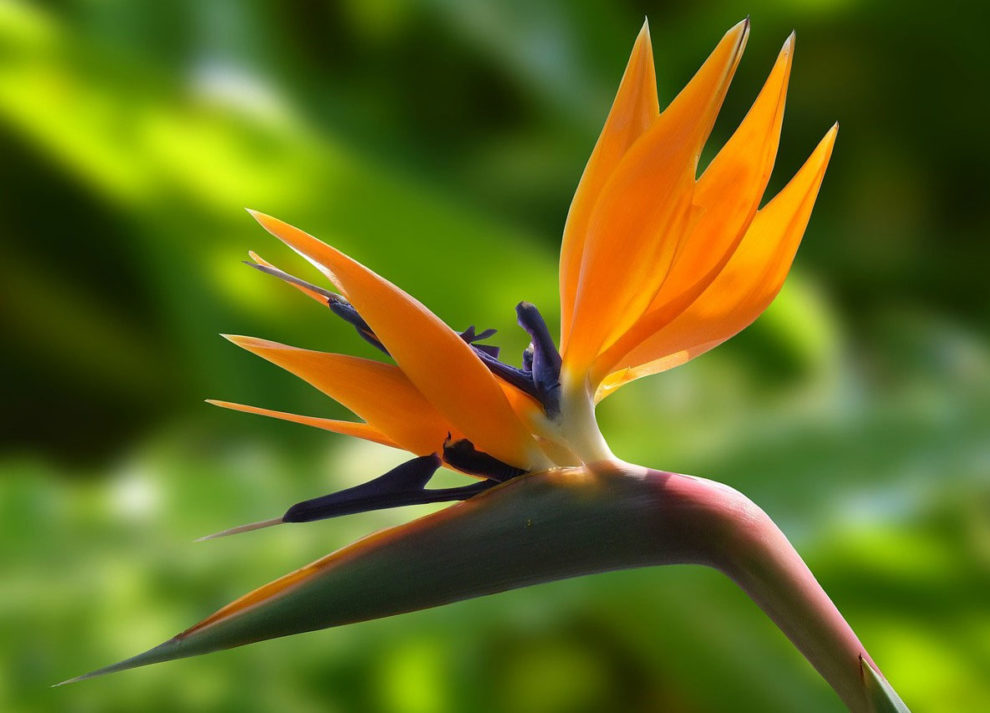 Bird of Paradise Cultivation