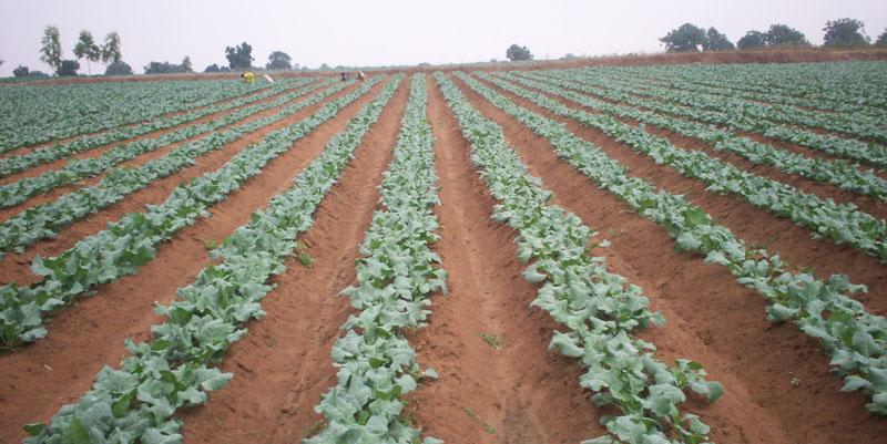cauliflower farming