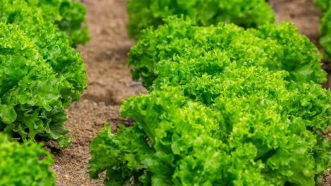 Lettuce cultivation