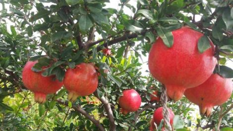 Pomegranate farming